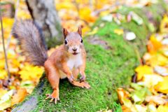 Smiling squirrel in autumn Royalty Free Stock Images