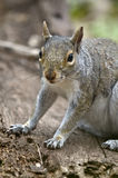 Smiling squirrel. A little eastern gray squirre with a smilingt look, standing on an old piece of wood in a natural background stock image