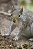 Smiling squirrel Stock Image