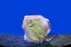 Smiling stingray. Photograph of underwater stingray attached to the glass Royalty Free Stock Photos
