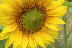 Smiling sunflower. Sunflower closeup Stock Photo