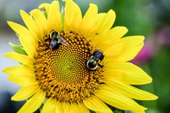 Smiling sunflower face with bumble bees as eyes. Yellow sunflower that looks like it is smiling. Two bees looking for some nectar. Safe the bees plant more royalty free stock photography