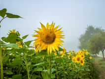 A smiling sunflower royalty free stock photos
