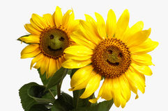 Smiling sunflowers. Two  smiling sunflowers, isolated on white background Royalty Free Stock Photos