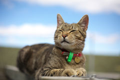 Smiling tabby cat. A cute tabby cat with a smile royalty free stock images