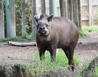 Smiling Tapir Stock Photo