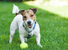 Smiling terrier with a ball. Cute Jack Russell Terrier with a tennis ball Royalty Free Stock Images