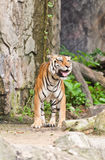 Smiling tiger Stock Photo