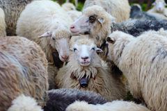 Smiling tranquility of sheep and other sheep around Stock Image