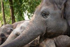 Smiling tuskless elephant Royalty Free Stock Images