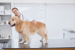 Smiling vet examining a labrador Royalty Free Stock Photography