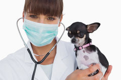 Smiling vet with protective mask holding a chihuahua Royalty Free Stock Images