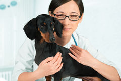 Smiling veterinarian with dachshund Stock Image