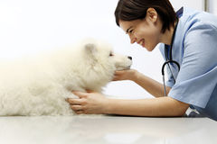 Smiling Veterinarian examining dog on table in vet clinic Royalty Free Stock Photography