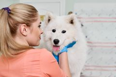 Smiling Veterinarian With Samoyed Royalty Free Stock Photography