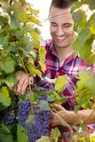 Smiling vintner harvesting a bunch of grapes Stock Photography