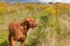 Smiling Vizsla Dog Standing in a Green Field. A smiling Vizsla dog stands in a green field in the autumn Stock Photos
