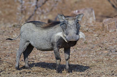 Smiling warthog Stock Photos