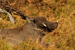 Smiling warthog. Lying in the grass stock photo