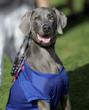 Smiling Weimaraner wearing a shirt. A smiling Weimaraner wearing a shirt and posing for his picture at the park stock image