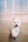 Smiling West Highland Terrier, Westie, Westy, Dog Royalty Free Stock Images