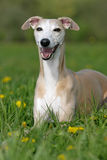 Smiling whippet Stock Photo