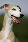 Smiling whippet Stock Photography