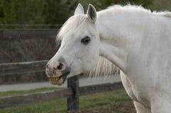 Smiling White Arabian Horse Stock Image