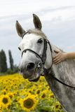 Smiling white horse in sunflower field. Colorfull image Royalty Free Stock Images