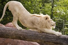Smiling white lion stretches in the sun at the Toronto Zoo. White Lion stretching across a log at the Toronto Zoo Royalty Free Stock Photography