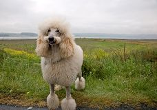 Smiling White Standard Poodle. This white standard poodle appears as tho he's smiling with his tongue sticking slightly out and his mustache cut.  Beautiful Stock Photography