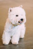 Smiling White West Highland White Terrier, Westie Royalty Free Stock Photography