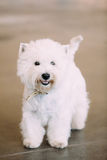 Smiling White West Highland White Terrier, Westie, Westy, Dog Royalty Free Stock Photos