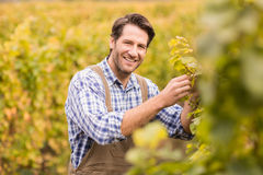 Smiling winegrower harvesting the grapes Stock Photography