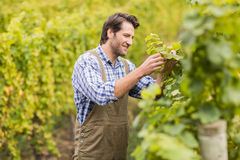 Smiling winegrower harvesting the grapes Royalty Free Stock Photo