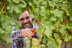 Smiling winemaker harvesting grapes Royalty Free Stock Images