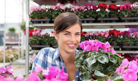 Smiling woman, in greenhouse with cyclamen plants Royalty Free Stock Photography