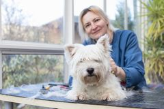 Smiling woman is grooming of West Highland White Terrier Dog. Dog is lying on the table and is looking at the camera stock photography