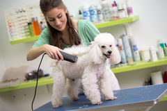 Smiling woman haircut white poodle Royalty Free Stock Images