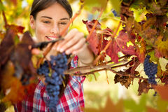 Smiling woman harvesting grapes Royalty Free Stock Images