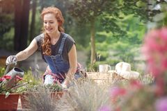 Smiling woman in jean dungarees. And gloves on hands watering red flowers on terrace on sunny day Royalty Free Stock Images