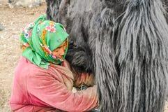 Smiling woman in Karakul in Tajikistan. Karakul, Tajikistan - circa September 2011: Native woman with green headcloth smiles during mlking of yak in Karakul Royalty Free Stock Photography