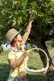 Smiling woman picking organic apples Royalty Free Stock Photography