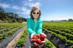 Smiling woman picking strawberries in a field at a farm, holding a batch of ripe berries in her hand. S royalty free stock images