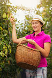 Smiling woman standing with basket of organic pears in a orchard Royalty Free Stock Photos