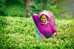 Smiling woman working on Sri Lankan tea plantation