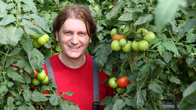 Smiling Worker Picking Tomatos. Smiling greenhouse worker standing among tall tomato plants. Selective focus Royalty Free Stock Photos