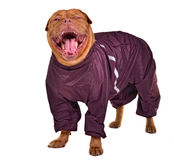 Smiling yawning dog dressed with raincoat Royalty Free Stock Photo