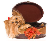 Smiling Yorkie pup lying inside round gift box Stock Photos