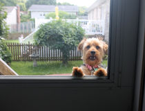 Smiling Yorkie Stock Photography
